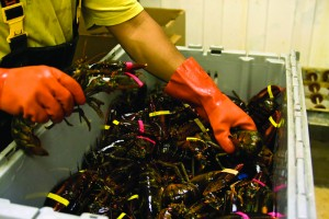 Maine lobster exports are strong with increased demand from China leading the way. Photo: Maine International Trade Center